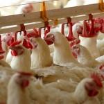 روش جهانی شدن روند تجارت سریع مرغ در سال 2014