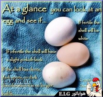 تخم طوطی