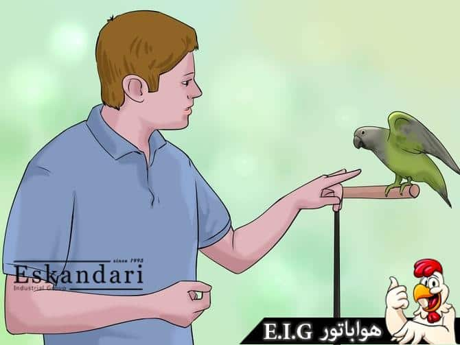 طوطی سنگالی جوجه کشی