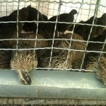 تصاویری از جوجه کشی و پرورش بلدرچین در ارومیه