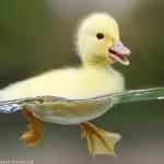 بخش دوم :  نکات مفیدی برای پرورش اردک ها!