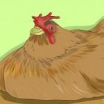افسردگی مرغ : چگونه بفهمیم که مرغ مان افسرده شده است  ؟