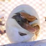 آموزش جوجه کشی : جوجه کشی تخم اردک