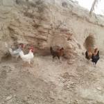 مقالات جوجه کشی – آینده پرورش جوجه کشی و پرورش مرغ بومی