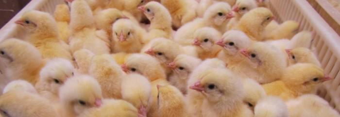 تخم مرغ هچ نشده