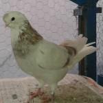 نگهداری و پرورش کبوتر