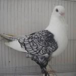 نگهداری و پرورش کبوتر بخش چهارم