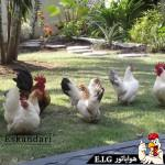 آموزش تخم گذاری مرغ بخش دوم