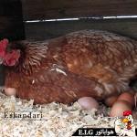 آموزش تخم گذاری مرغ