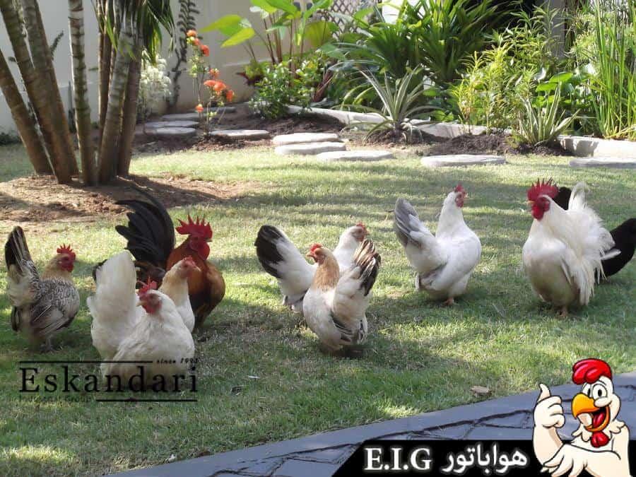 تخم گذاری مرغ