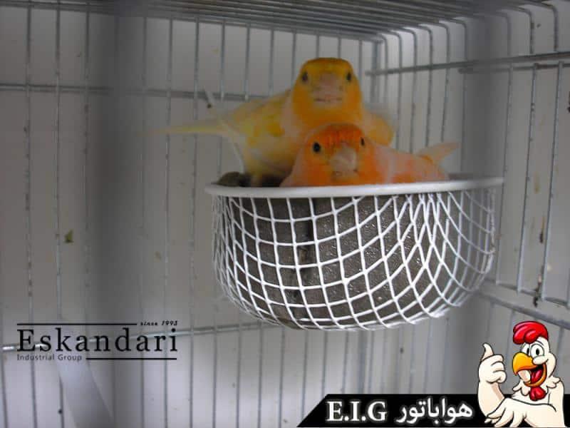 canary_pics_079