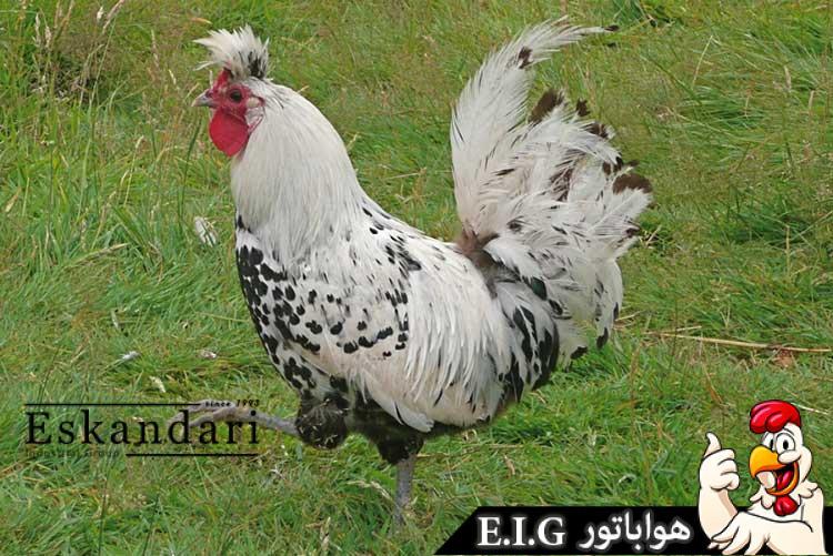 مرغ-آپنزیلر