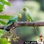 پرنده ای به نام طوطی سبز طوطی بخش دوم