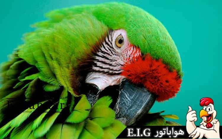 طوطی-سبز