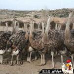 پرورش و نگهداری شتر مرغ – درباره شترمرغ