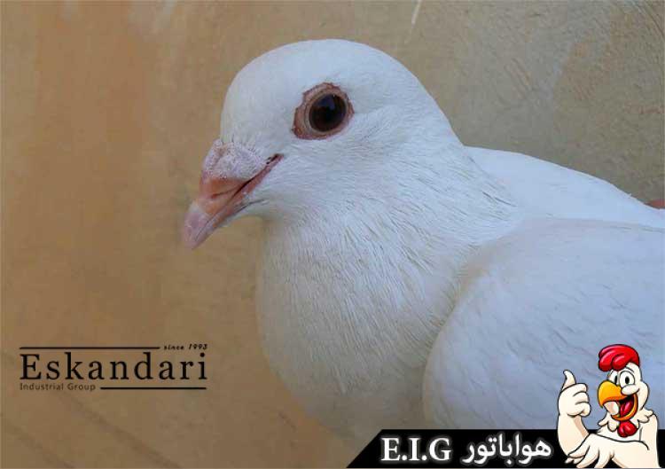 تغذیه-کبوتر