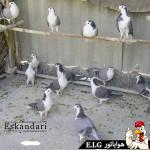 اهداف پرورش کبوتر