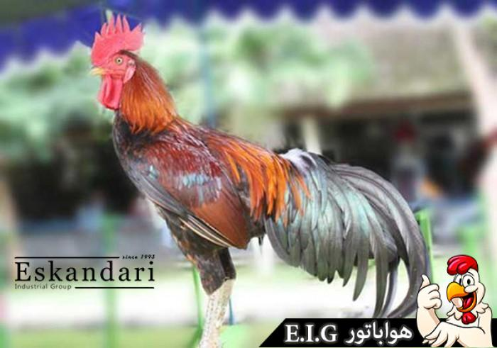Ayam-Pelung