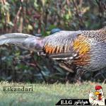 مرغ جنگلی خاکستری Grey Junglefowl