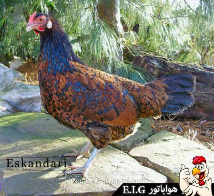 Old-English-Pheasant-Fowl