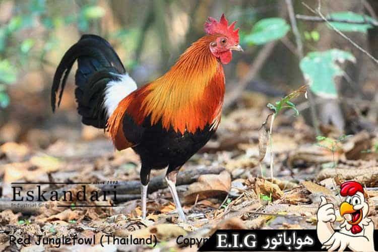 Red-Junglefowl
