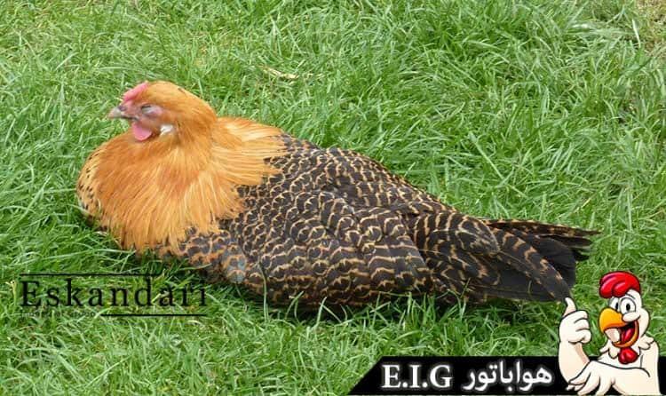 Westphalian-Fowl–خروس