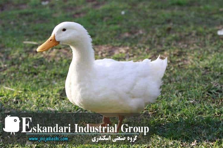 duck-hatching-egg