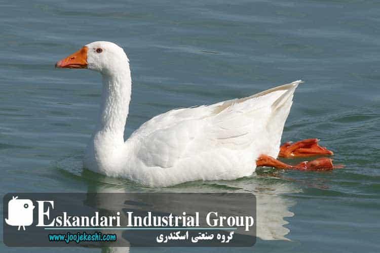 goose-hatching-eggs