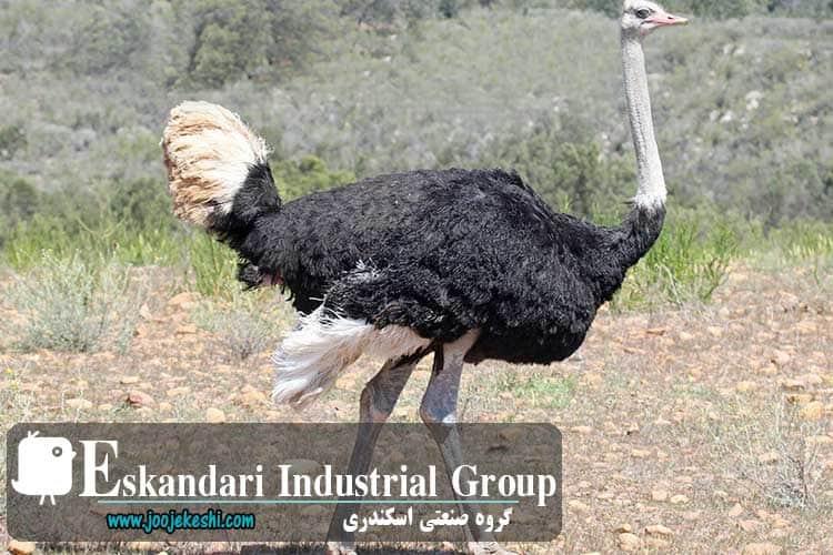 ostrich-hatching-eggs