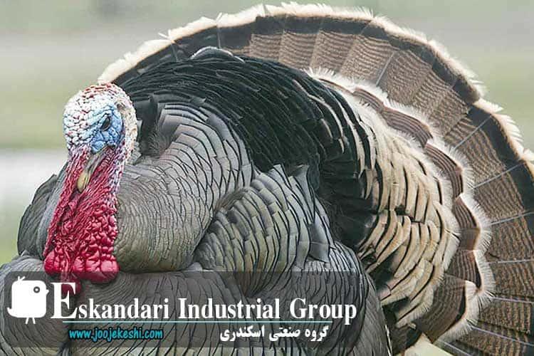 turkey-hatching-eggs