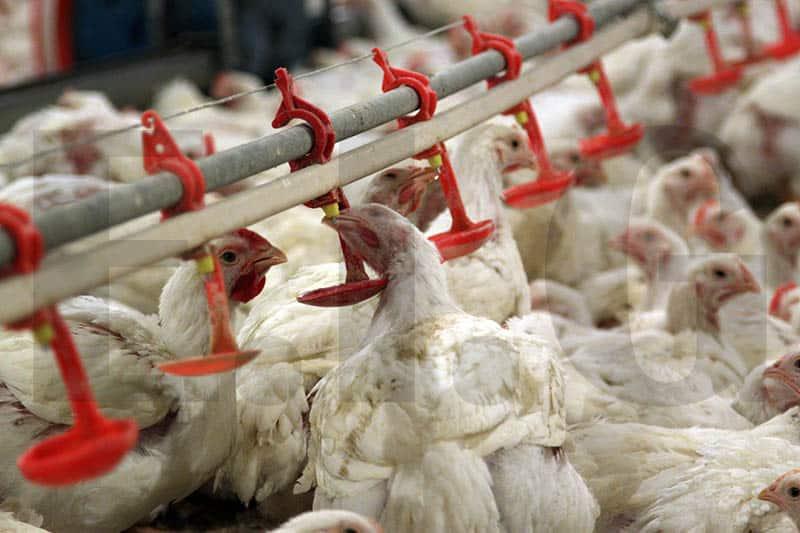 بستر پرورش مرغ گوشتی