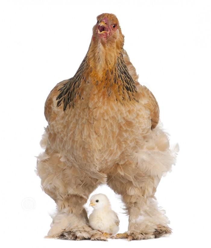مرغ قهوه ای بهمراه جوجه