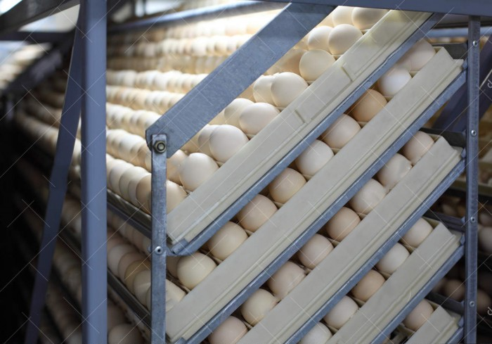 چرخاندن تخم ها داخل دستگاه جوجه کشی