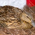 نگهداری اردک ها : آموزش و روشهای پرورش اردک و نگهداری از آنها