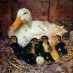 پرورش اردک ، نکات مهم و نگهداری از این پرنده