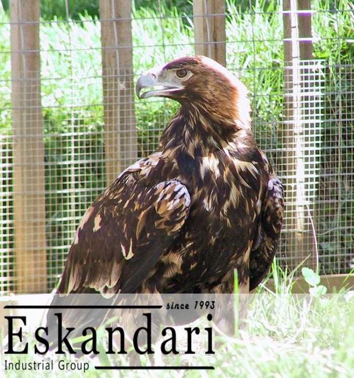 شاه باز پرنده ی شکاری از گونه های عقاب