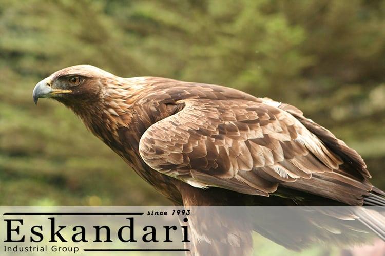 عکس عقاب طلایی