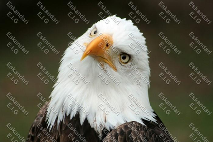 عکس عقاب سر طاس