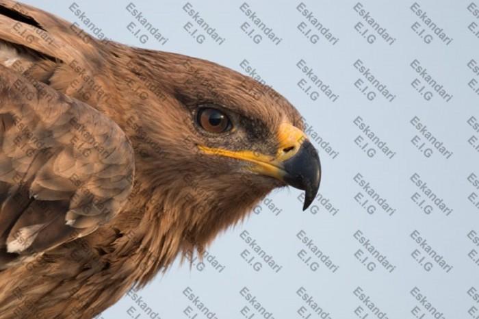 عقاب صحرایی