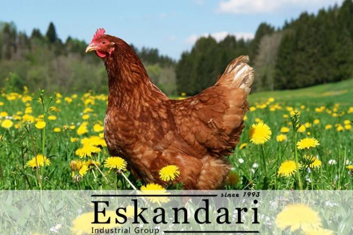 نژاد های مرغ تخمگذار