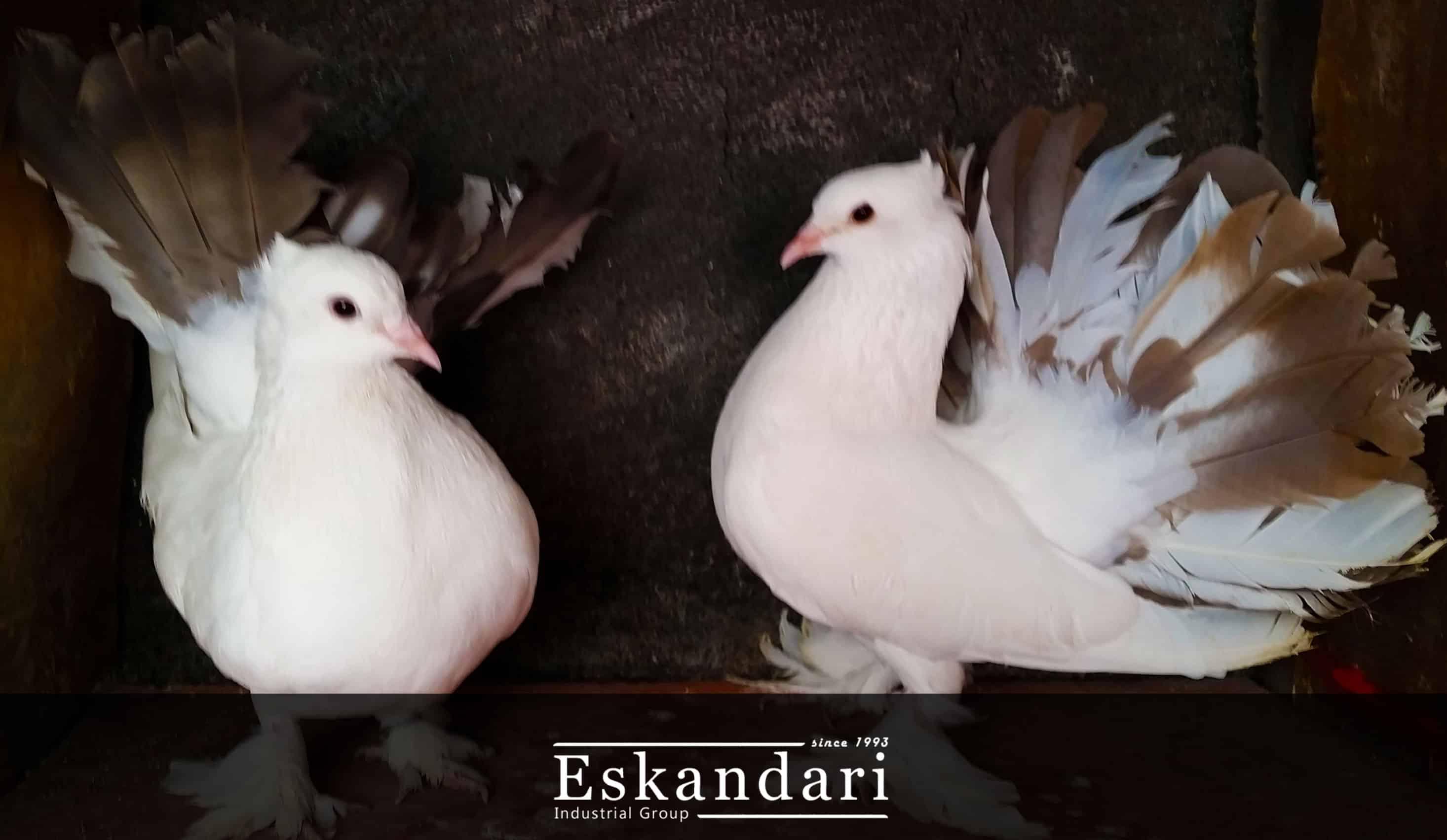 اصطلاحات کبوتر بازی