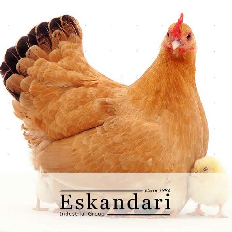 مرغ گوشتی
