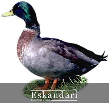 خصوصیات تولیدی اردک