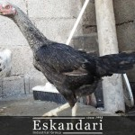 تغذیه مرغ لاری و خروس لاری – بخش سوم مقاله