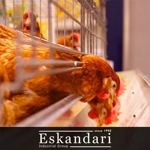 تغذیه مرغ لاری و خروس لاری : دان طیور