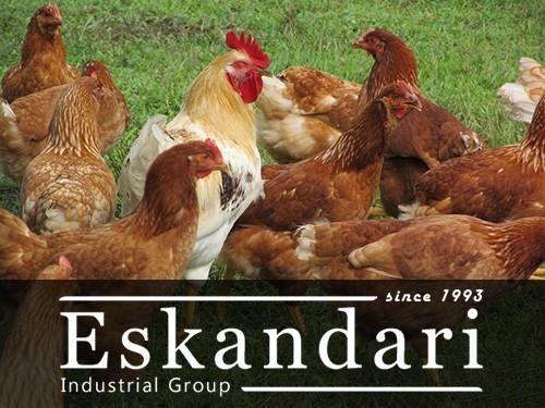 مرغ ها و خروس خانگی