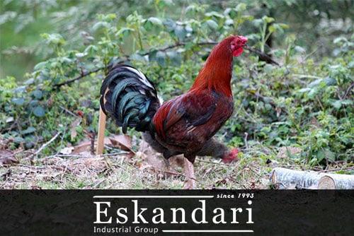تغذیه ، نحوه جوجه کشی و تشخیص مرغ لاری کرچ - مرغ بومی
