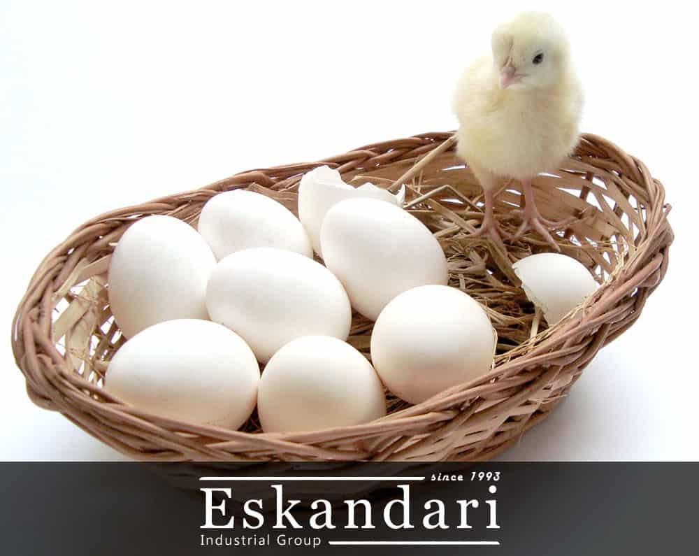 جوجه گیری از انواع تخم مرغ نطفه دار