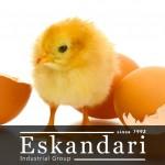 روش جوجه گیری از انواع تخم مرغ نطفه دار توسط ماشین های جوجه کشی