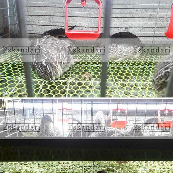 قفس-مرغ-تخمگذار